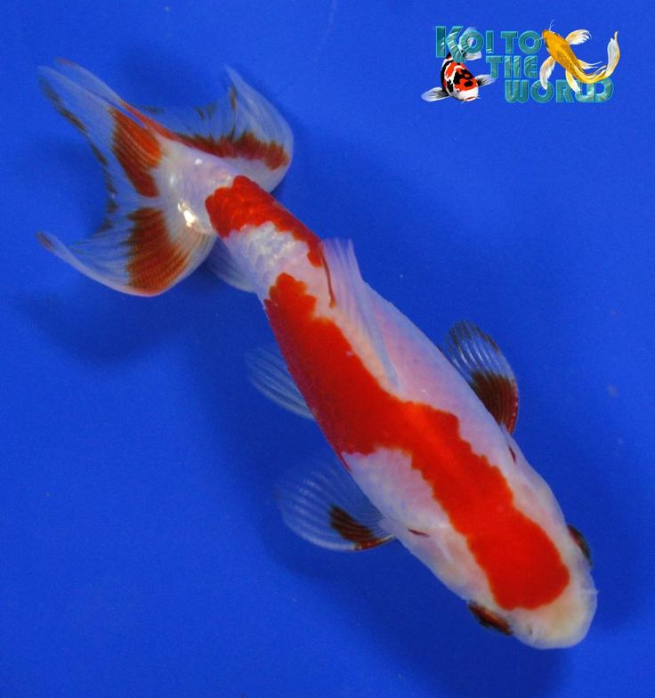1210 best images about the honorable koi on pinterest for What fish can live with goldfish in a pond