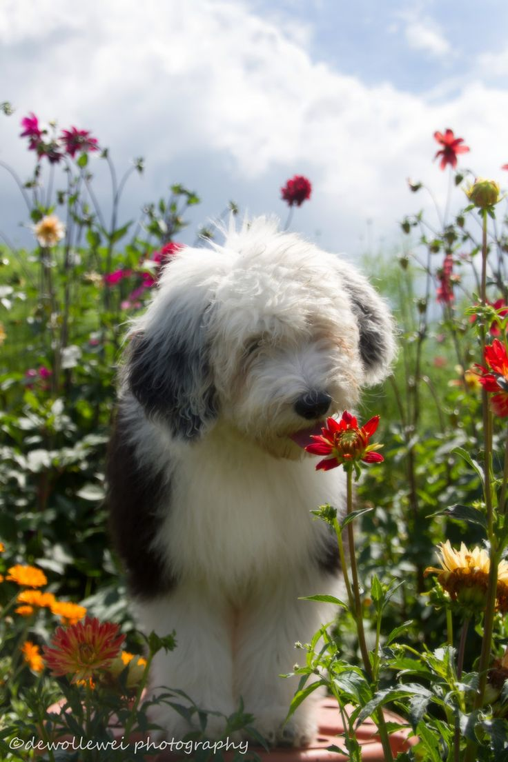Sweet English Sheepdog smelling the flowers.  Photo by dewollewei photography.