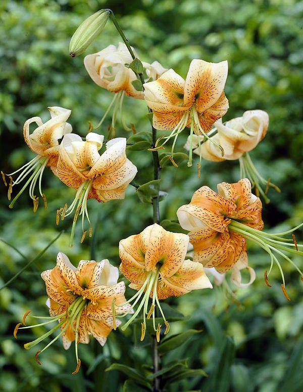 Lilja (varjolilja) Lilium martagon 'Lady Alice'. Upea ´Lady Alice´ on varjoliljan risteymä (Turk´s cap lilies). Niiden kukat ovat kookkaita ja kukkien terälehdet kääntyvät varjoliljan lailla taaksepäin. Kukinta: heinä-elokuu. Kasvukorkeus: 90-120 cm. Kasvupaikka: aurinkoinen, puolivarjoinen. - 2013 Viherpeukaloilta.