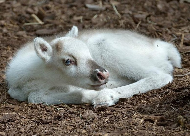 All Newest - Pixdaus | Lumi, a snow white reindeer calf born at the Vi... By: zap