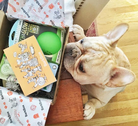"""What's in here?"", nosy French Bulldog:"