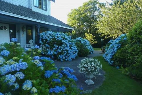 Love all the hydrangeas in the yard