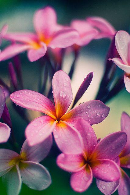 My Mom's Frangipani (Plumeria) _DSC3239 by Fadzly @ Shutterhack, via Flickr