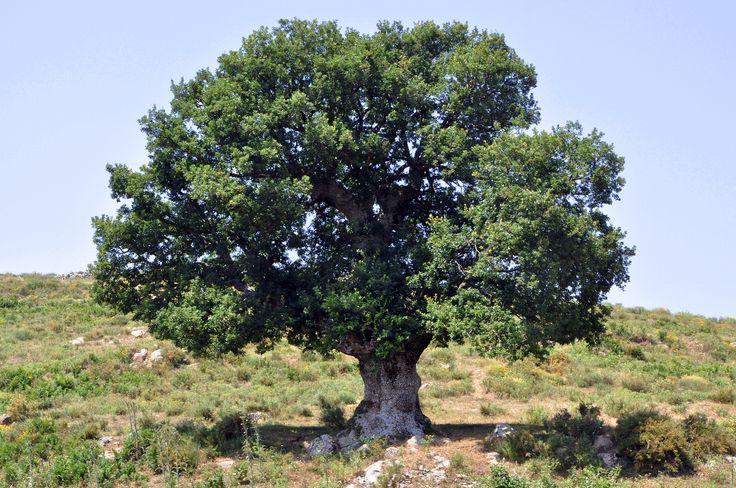Oak- most common tree ...