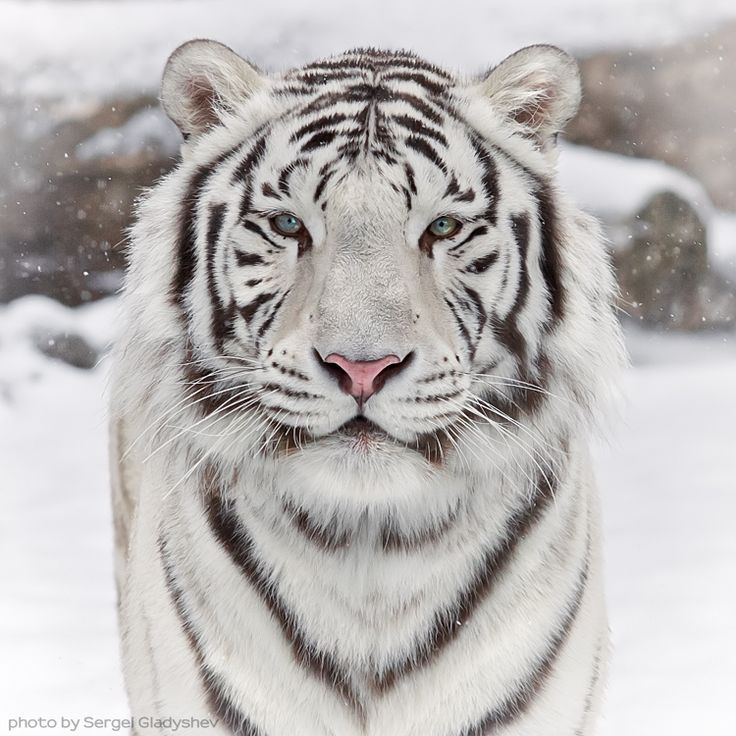 {siberian white tigers}