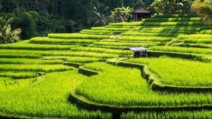 Ubud Traveller information guide - rice field terraces, Jatiluwih, near Ubud, Bali, Indonesia