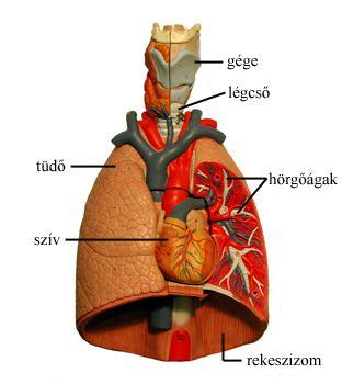 Az ember légzőszervrendszerének (gége és alsó légutak) makettjéről készült fotó