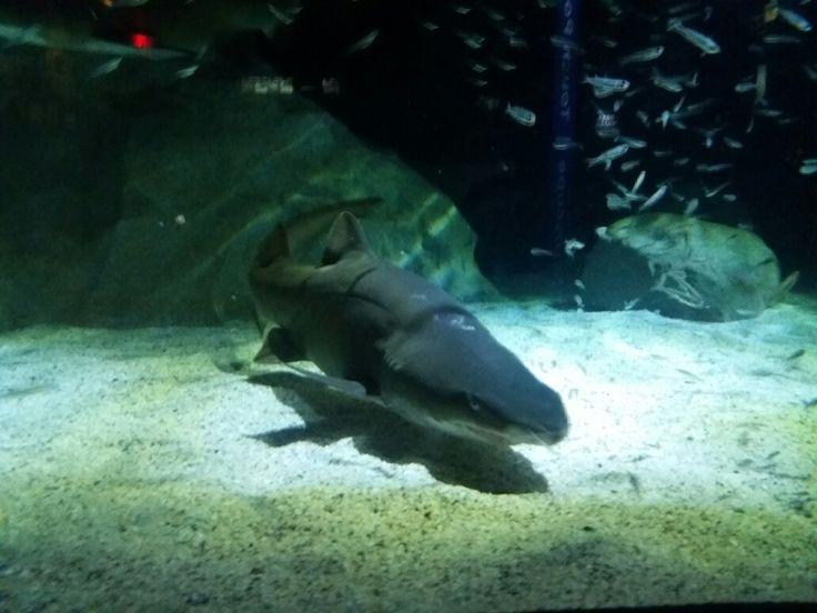 Shark ,Two Oceans Aquarium, Cape Town,South Africa