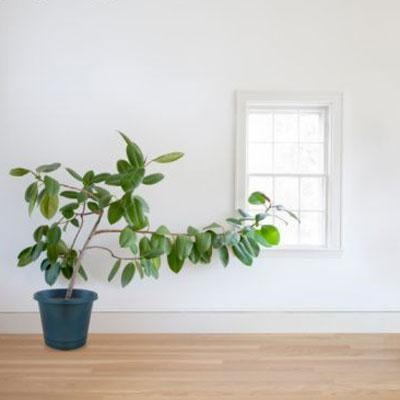 Rubber Plant    Got a black thumb? The hearty rubber plant is for you. It ranks high at eradicating nasty formaldehyde and can tolerate cooler temperatures and low light. You just need to keep it well-watered.