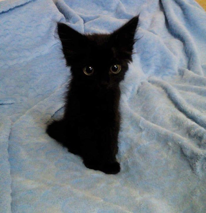 Little Black Kitten Being The Best Thing Ever Cute Animals Cat