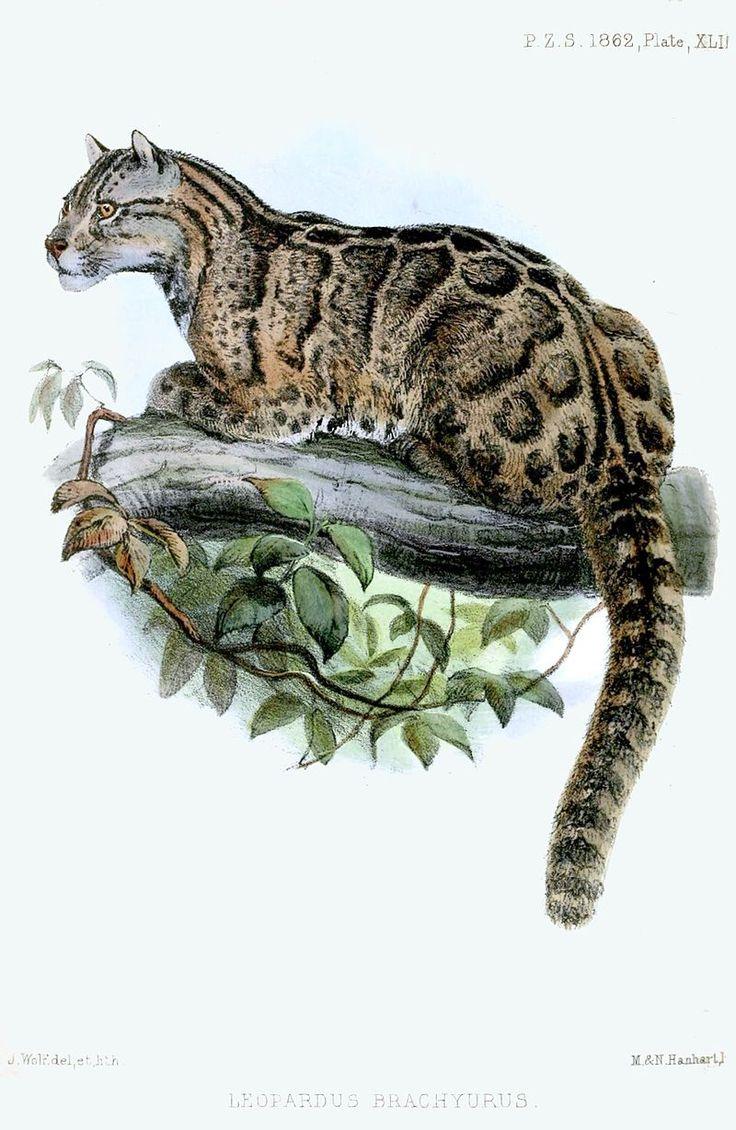 Dessin en couleurs d'une Panthère nébuleuse de Taïwan sur une branche.