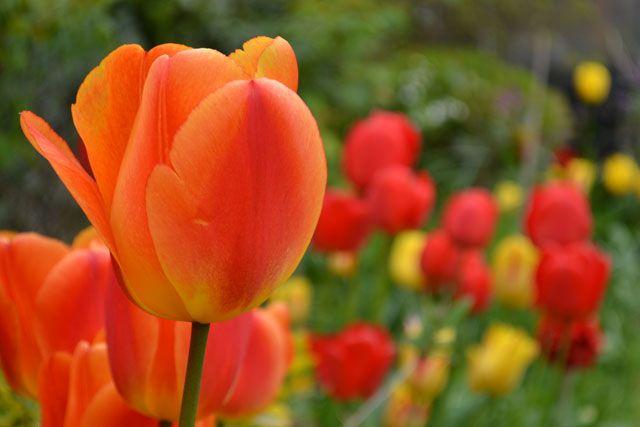 Pretty Tulips in the garden inspiration