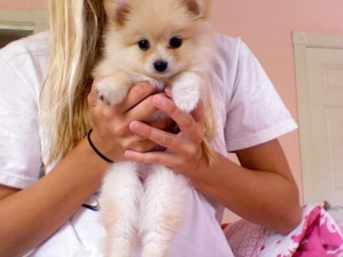 Pomeranian!: Cutest Dogs, Pomeranians Puppies, Pet, Christmas, Labrador Puppies, Fluffy Puppies, Little Dogs, Adorable Animal, My Style