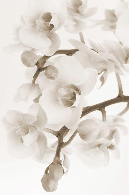 Orchidee - Sepia Fototapeter & Tapeter 100 x 100 cm