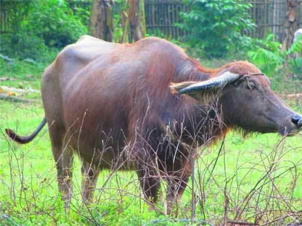 Milking Profits from the Carabao - Business Diary Philippines