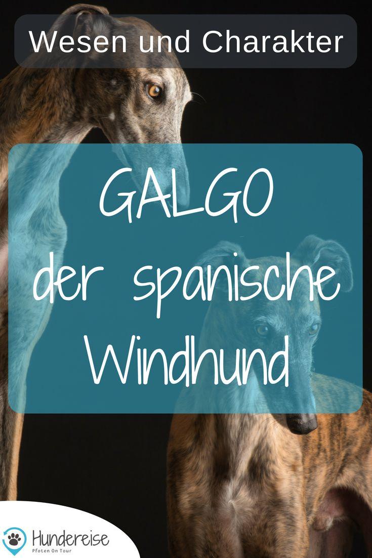 Ein Galgo Aus Spanien Zieht Bei Mir Ein Hunde Rassen Hunde Und Hunderassen
