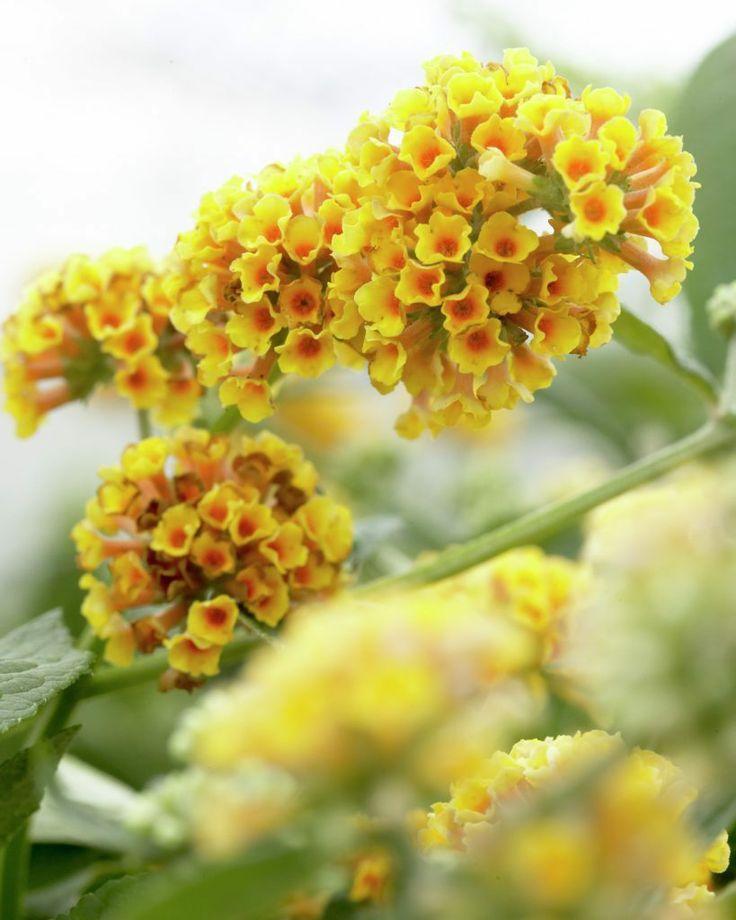Gelber Sommerflieder 'Sungold' • Buddleja x weyeriana 'Sungold' • Gelber Schmetterlingsstrauch 'Sungold' • Pflanzen & Blumen • 99Roots.com
