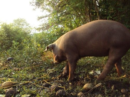 red waddle hogs Weanling to roasting size hogs available for your oven, grill or smoker $200 for 20-60 lb call for pricing on larger ones-they are red waddle/large black cross, raised on pasture, fed non-gmo, organically grown feeds.