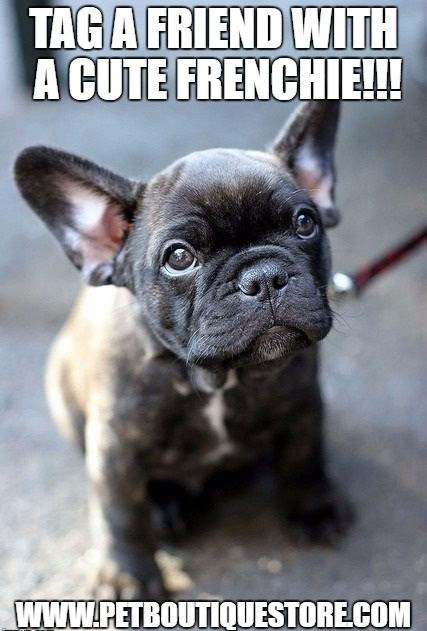 TAG A FRIEND WITH A CUTE FRENCHIE!!!  #bulldog #frenchbulldog #frenchie #charlotte #frenchielove #meugrudinho #sqn #baby #lindademais #love #bully #bellathegermanfrenchie #bullylove #french #bullylife #frenchkiss #tier #frenchies #frenchiesofinstagram #animal #dog #bulldogge #frenchbulldogsofinstagram #badewanne #hund #welpe #puppy #rocky #francuzkybuldocek #bambino
