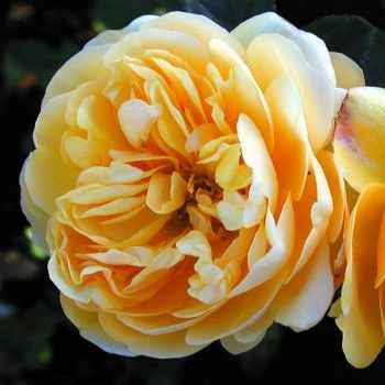 Rich deep yellow. Strong fresh tea scent. Opens a rolled cup shape, matures like a wide Edwardian rose. Lovely form and scent. Generous clusters. Continuously flowers. Vigorous bushy growth or low climber suitable to espalier. 2.1m x 1.5m.