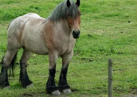 Hier zie je een boerenpaard. Deze paarden zijn veel steviger gebouwd en zijn nog sterker dan de 'gewone' paarden. Ze werden vroeger dan ook gebruikt door de boeren om op het land te werken. Vandaag de dag is dat niet meer zo vaak het geval. De functie van deze paarden werd vervangen door de tractors. Wel zijn er nu veel wedstrijden voor het mooiste boerenpaard, en koersen met boerenpaarden.