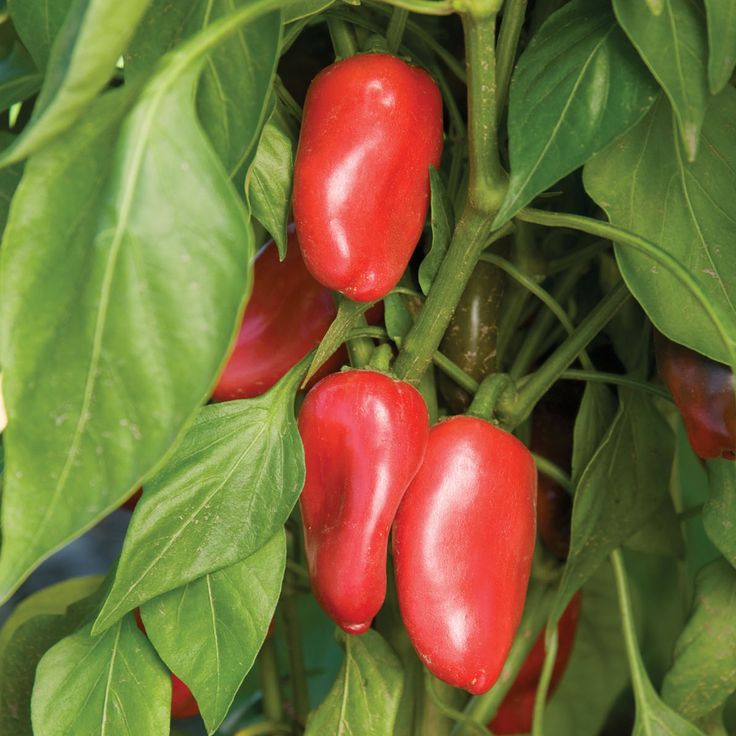243 Best Sweet Pepper Images On Pinterest Bell Pepper 400 x 300