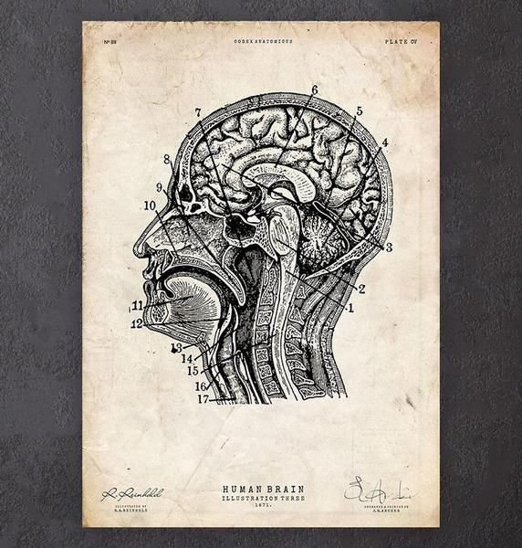 Brain sections anatomy poster - Codex Anatomicus
