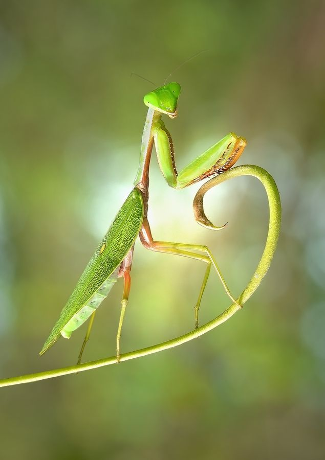Praying Mantis are great for the garden. We have hundreds hatching right now.....so tiny at first!