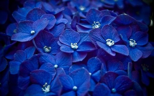 File attachment for Flower Wallpaper with Blue Hortensia in high resolution