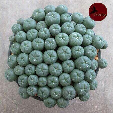 Peyote cluster
