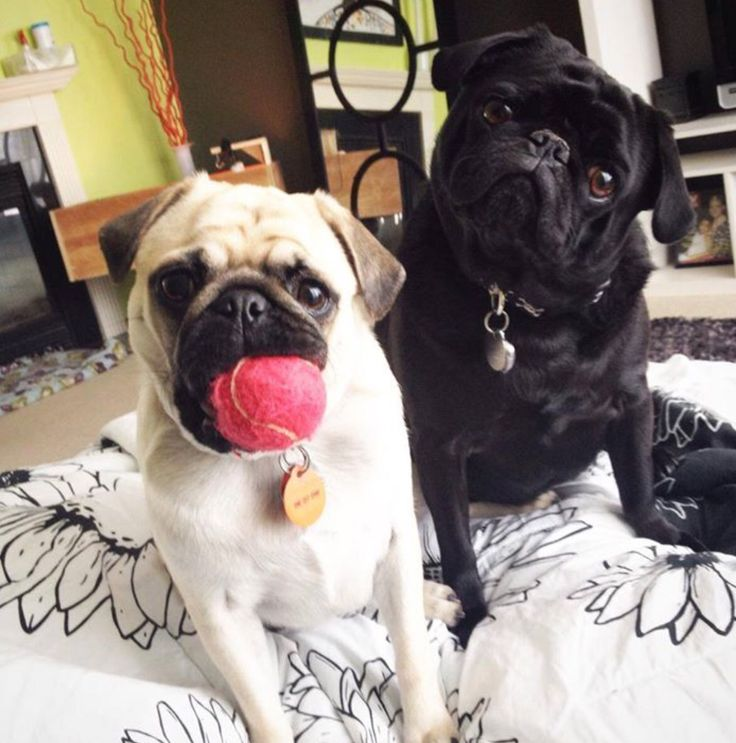 2111 best pugspets images on pinterest pug art doggies and pets two cuties thecheapjerseys Image collections