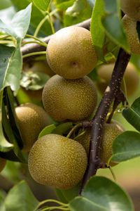 20 Best Asian Pears Images On Pinterest Pear Trees