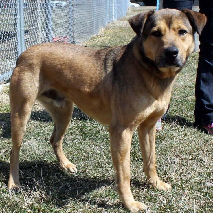 Higgans is an adoptable Shepherd searching for a forever family near Eaton, OH. Use Petfinder to find adoptable pets in your area.