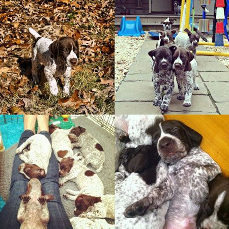 10 Things Only a German Shorthaired Pointer Owner Would Understand | WOOFipedia by The American Kennel Club