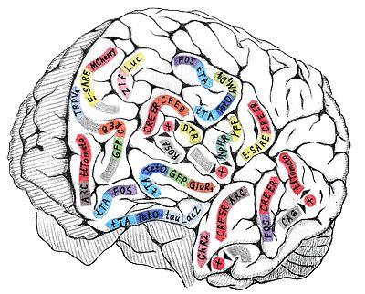 биомолекула.ру: Технологии изучения клеточных механизмов памяти