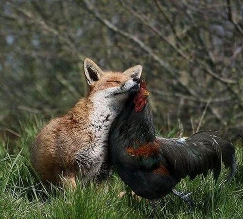 Fox and Rooster are Snuggle Buddies