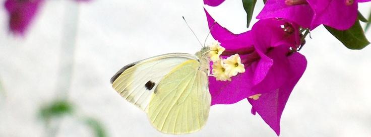 whitebutterfly.jpg (850×315)
