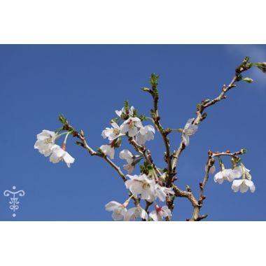 Prunus incisa Kojou no mai_ Thoby Gaujacq3