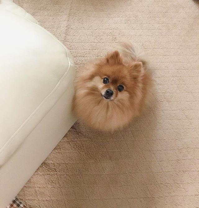 🐾 疑われている…🕵️♀️ . #ポメラニアン #ぽめ #犬 #わんちゃん #たぬき #愛犬 #ポメラニアンが世界一可愛い #犬バカ部 #ふわもこ部 #カメラ女子 #カメラ日和 #ファインダー越しの私の世界 #写真好きな人と繋がりたい #写真部 #写真撮ってる人と繋がりたい #犬好きな人と繋がりたい #ポメ部 #puppy #happy #pomeranian #pom #pomeranianworld #dog #Instadog #petstagram #tagsforlikes #멍스타그램 #개스타그램