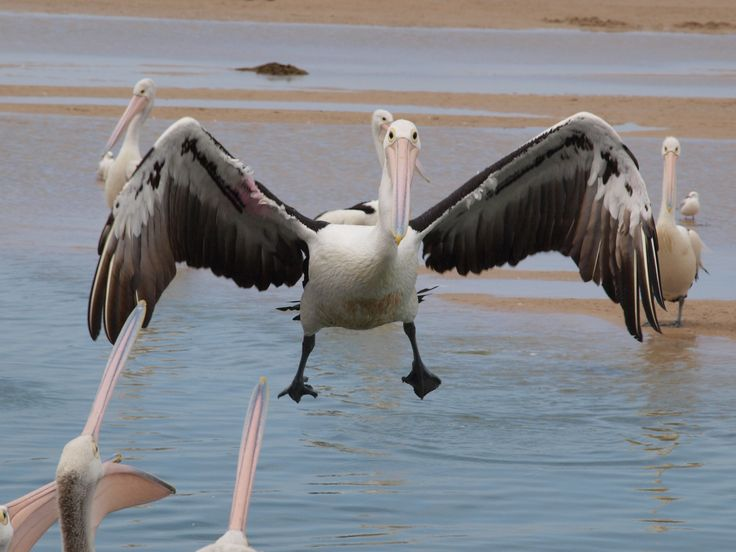 Pelican coming in to land at the daily pelican feed!
