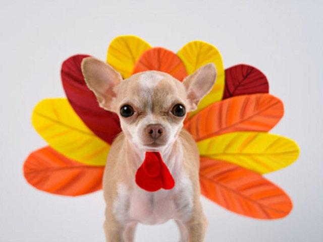 Costumed dogs celebrating thanksgiving gobble gobble turkey costumepet