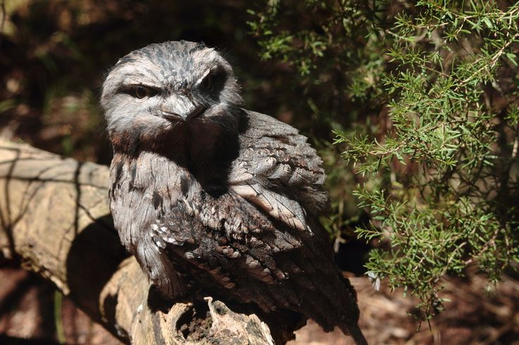 Another Tawny Frogmouth by DBlinman