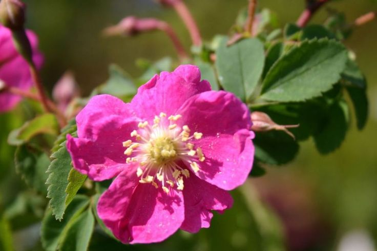 Hängefrucht-Rose / Alpen-Heckenrose - Rosa pendulina
