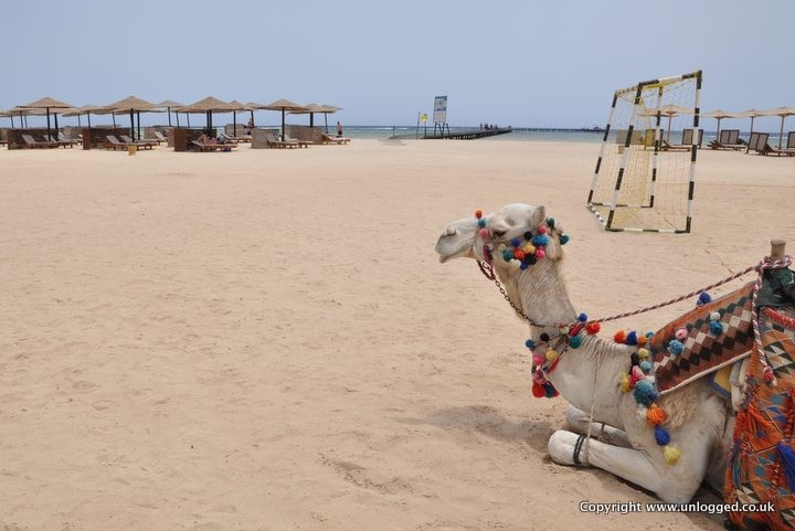 This #camel enjoys Port Ghalib in Marsa Alam
