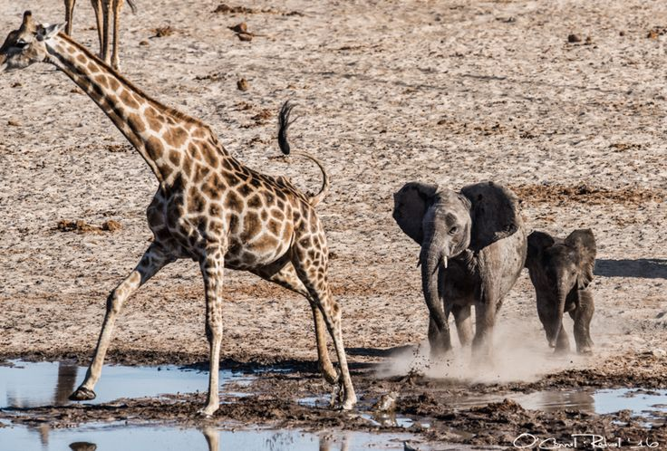 elephantskinny:  How to Chase a Giraffe  Four year old Leo (son of Susan from the Actors Family) teaches his new baby brother Liam the proper method of chasing giraffes. #humor #hilarious #funny #lol #rofl #lmao #memes #cute
