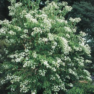 Seven Sons Flower Tree Heptacodium Miconioides Beautiful Sweetly Fragrant Cascades Of Sparkling