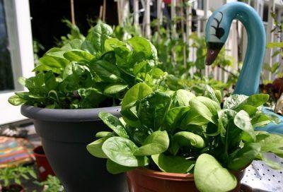 Las espinacas son unas plantas que por sus características particulares se prestan muy bien al cultivo en maceta, tanto en interior como en exterior. Podemos cultivarlas, junto a nuestras hierbas a…