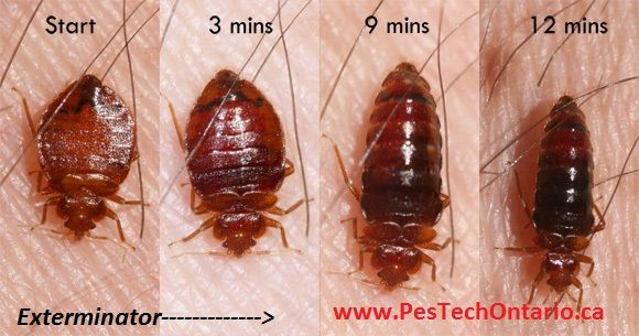 PesTech is the finest bed bugs exterminator in St. Catharines since last 20 years. Remove bed bugs are quite difficult pest problem to eradicate quickly. The best solution for bed bugs is to hire pest control company PesTech.
