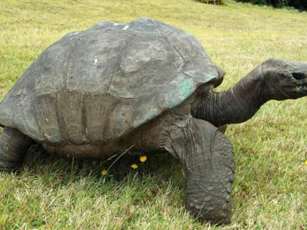 Panorama Tartaruga De Anos Pode Ser Animal Mais Velho D - Jonathan tortoise mind blowing 182 years old