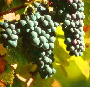OPC Druivenpit: Krachtig wapen tegen veroudering